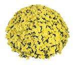 Jasoda Yellow